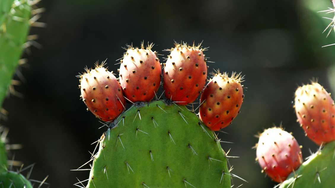 Blühender Kaktus im Heiligen Land.