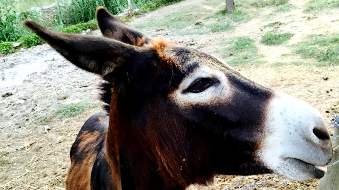 """""""Esel sind Tiere, die sehr schnell deutlich machen, dass sie keine Geräte sind"""", sagte Rainer Hagencord, Priester und Leiter dees Instituts für Theologische Zoologie in Münster."""