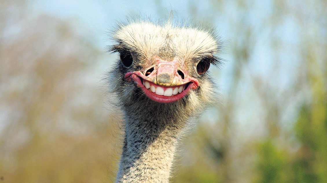 """""""Da lachen ja die Hühner"""", behauptet eine Redensart. Offenkundig gilt diese Fähigkeit definitiv für Straußen- und andere Spaßvögel."""