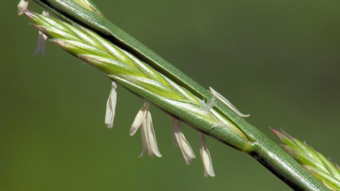 Lolch: Sieht aus wie Getreide, gilt aber als Unkraut.