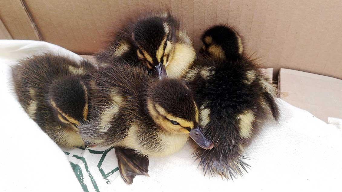 Die vier geretteten Entenküken.