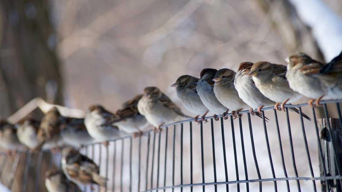 Spatzen sind jüngsten Zählungen zufolge die am häufigsten vorkommenden Vögel in den winterlichen Gärten Nordwestdeutschlands.