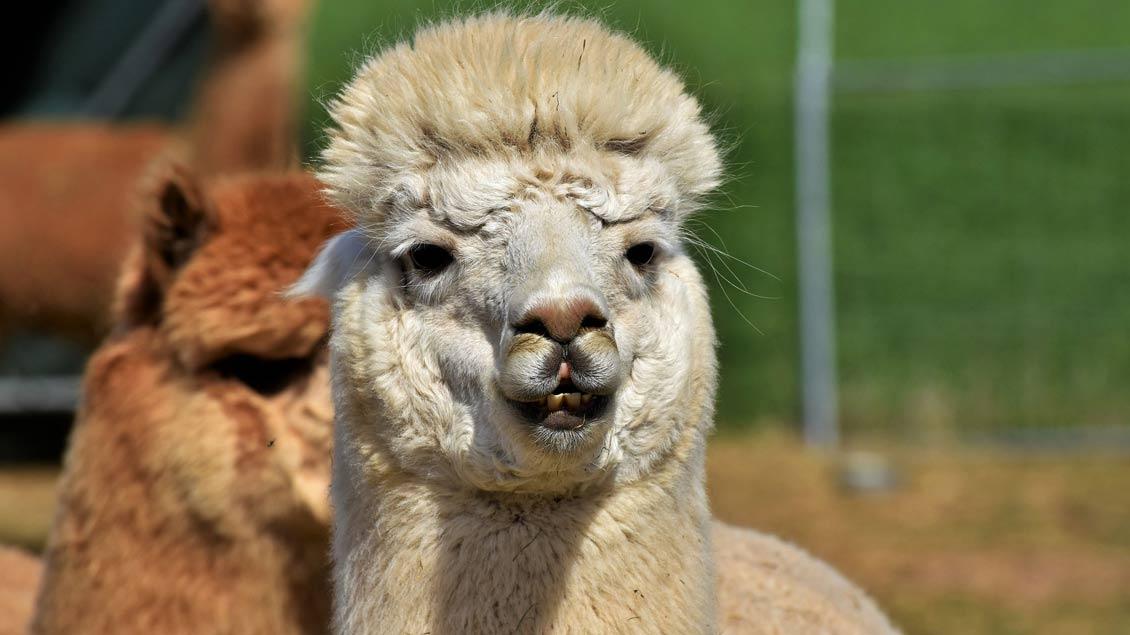 Zwei Lamas.