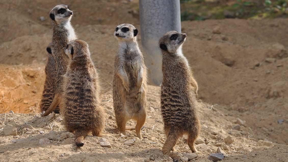 Vier Erdmännchen stehen in einer Gruppe zusammen