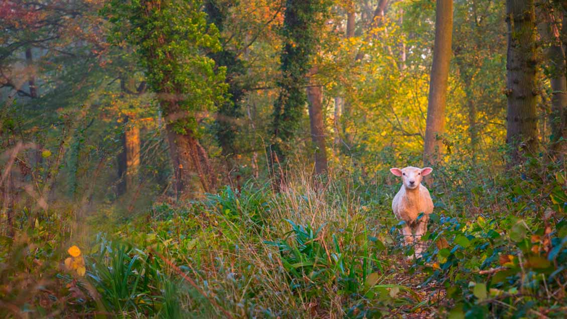 Ein einzelnes Schaf im Wald