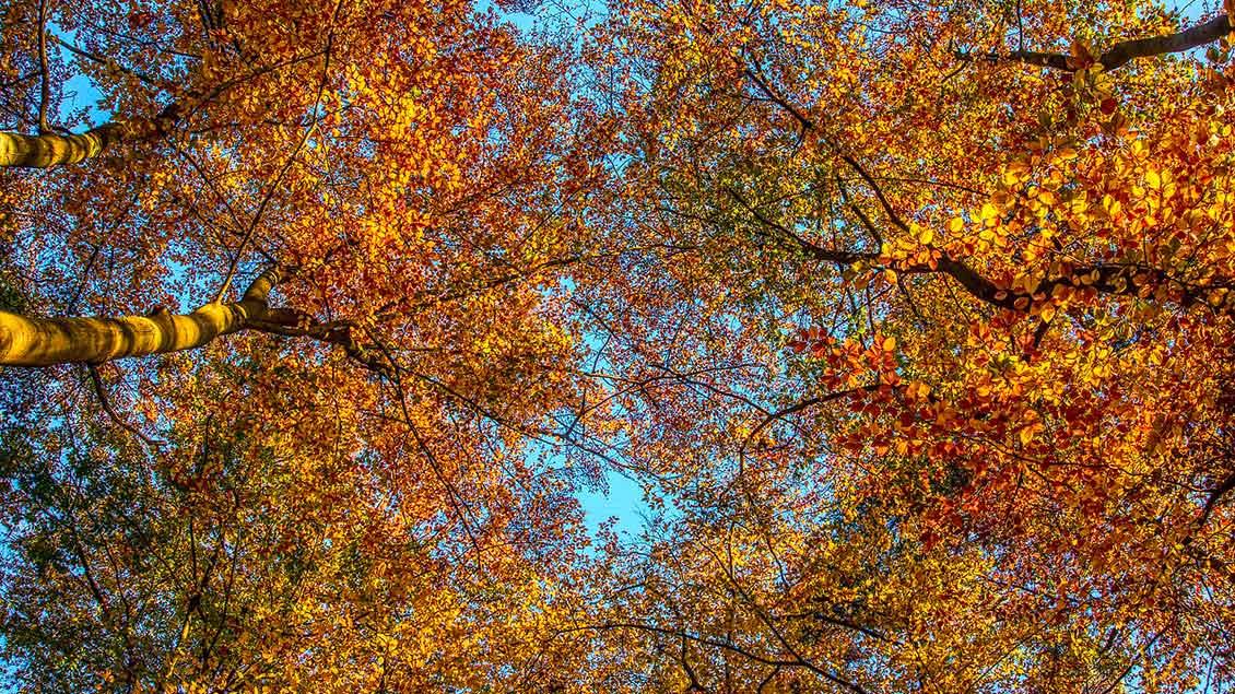 Blick in Baumkronen mit bunt gefärbtem Laub.