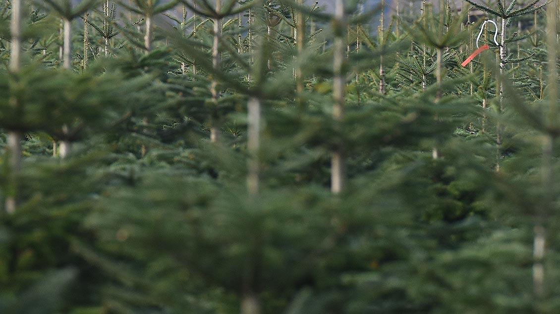 Weihnachtsbäume stehen in einer Tannenschonung.