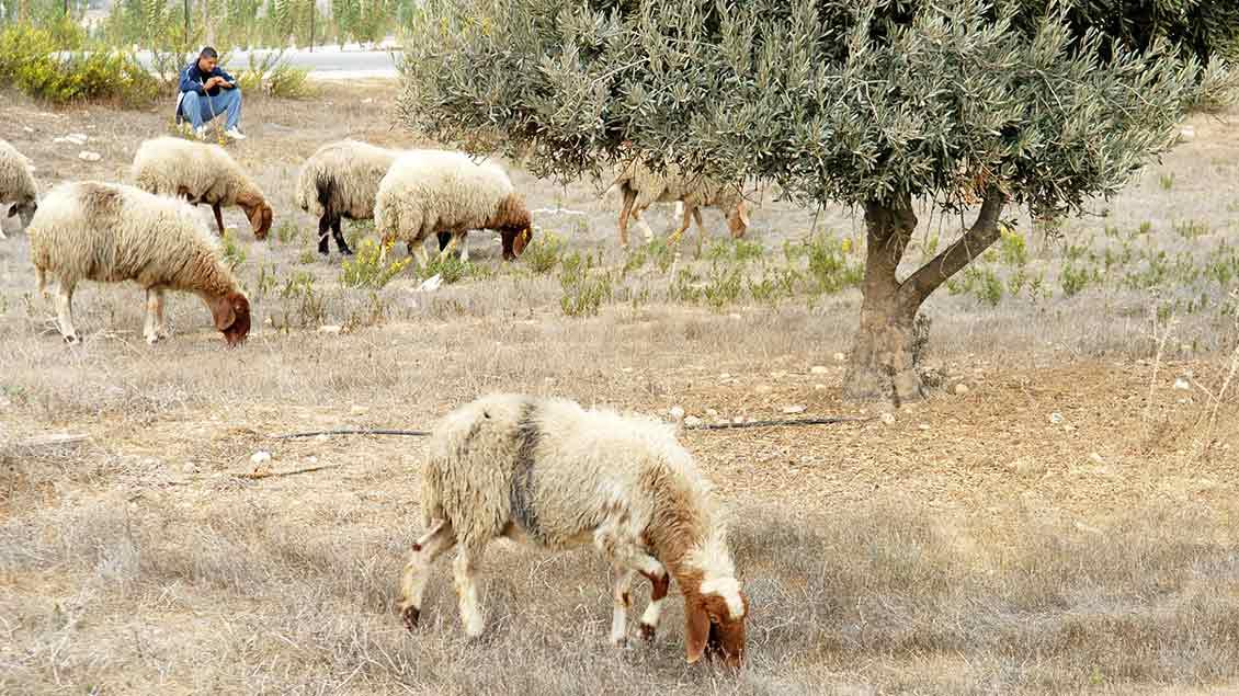 Ein Hirte mit seinen Schafen im Heiligen Land.